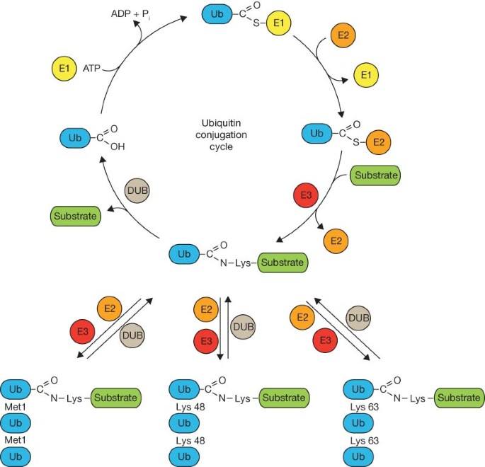 humán papillomavírus ubiquitin