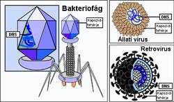Baktériumvírus gombák paraziták különbségek
