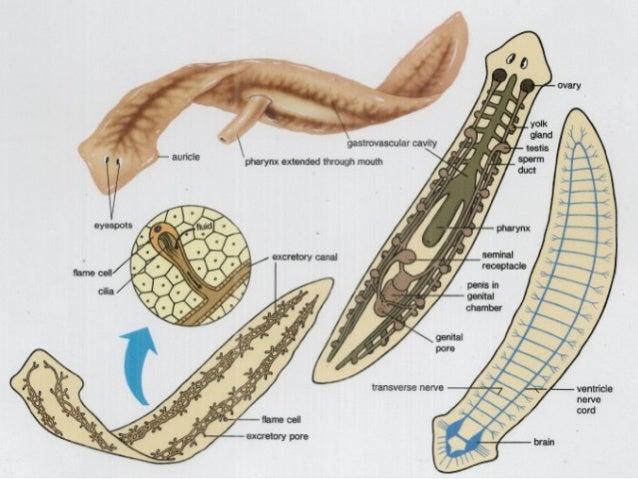 Phylum platyhelminthes képek névvel.