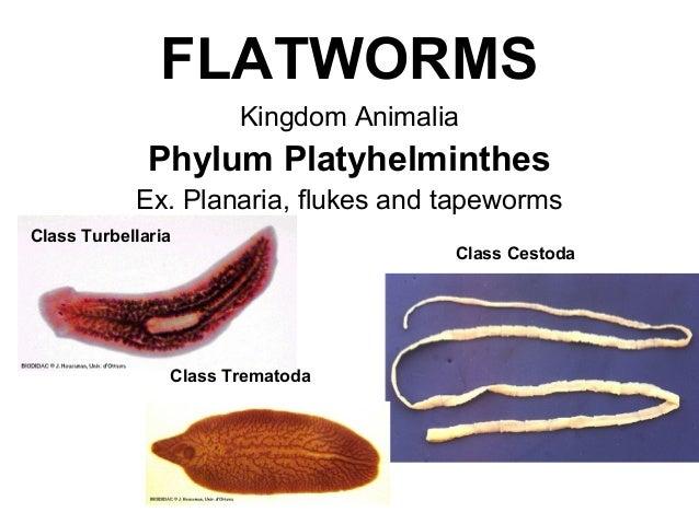 phylum platyhelminthes taenia)